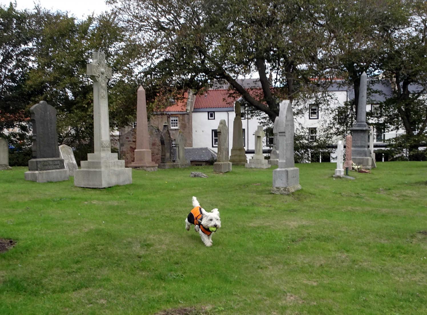 poppy the westie in the wester graveyard