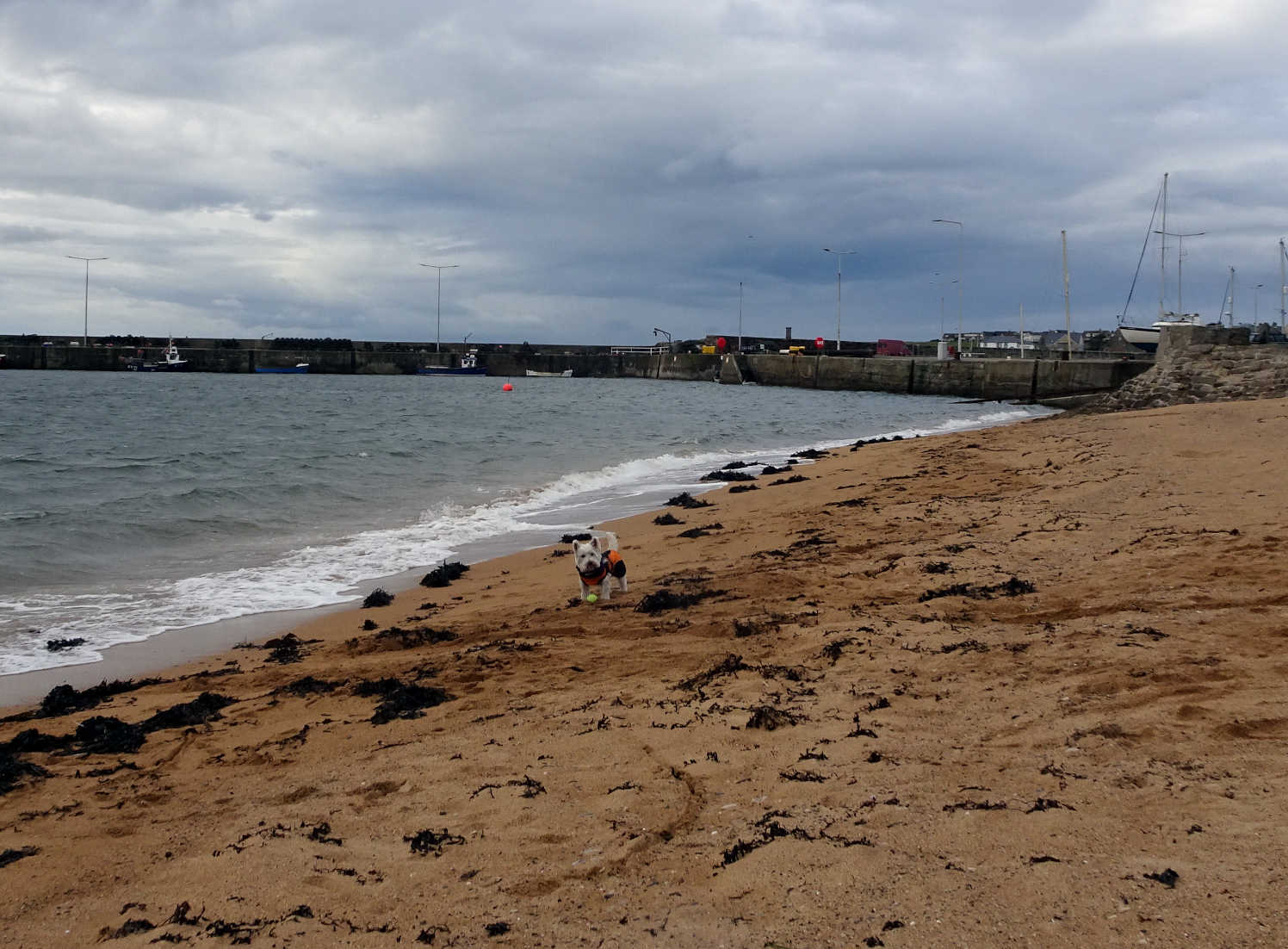 poppy the westie on anstruther beach in sept