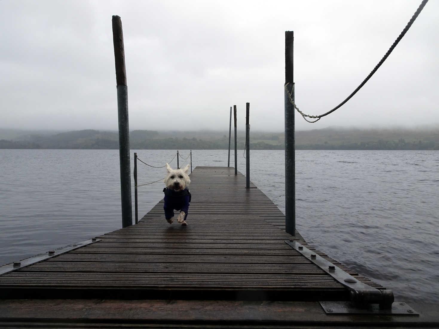 poppy the westie on private pier in dalavich