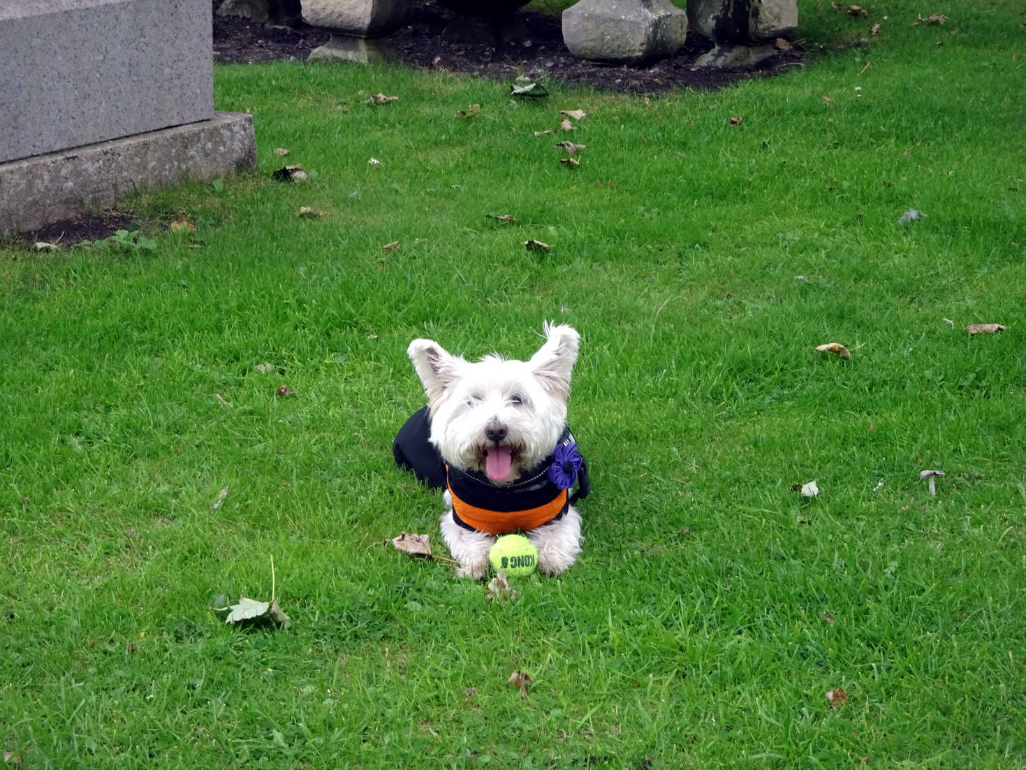 poppy the westie takes 5 at wester graveyard