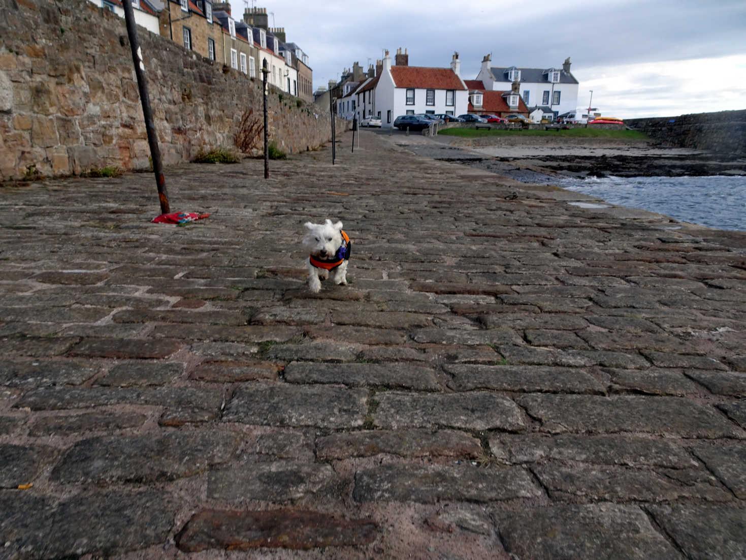 poppy the westy on the shore cellardyke